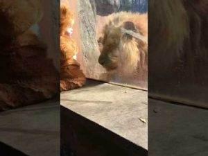Kleines Kind als Löwenbaby Verkleidet trifft auf echten Löwen, und der Löwe ist verwirrt